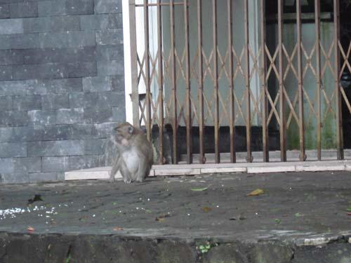 Guardian Monkey @ Tlogo Putri